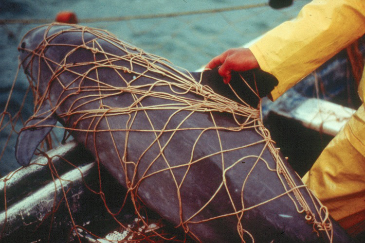 Photo of dead vaquita from NOAA, photo by Omar Vidal (www.flickr.com/photos/nmfs_northwest/26367279334)